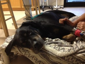 A dog cared for Second Chance Rescue