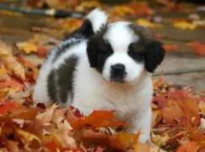 A St. Bernard puppy
