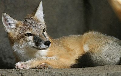 Saving Swift Wolves from Keystone XL Pipeline