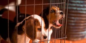 lab dogs