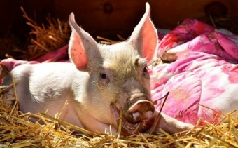 Yoda's Leap – A Piglet Escaping Slaughter in Canada