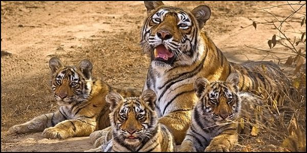 Save Tigers from Coal Mining in India, Demands Animal Advocates