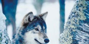 wolves killing