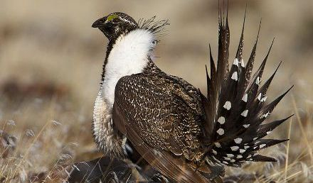 Activists Call for Saving Sage-Grouse from Extinction