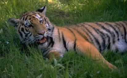 Sierra Club Calls for Protection of Siberian Tigers and Wildlife