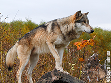Fall Color Wolf
