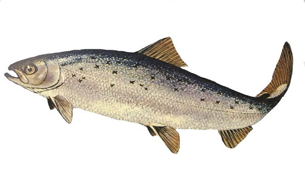 Frankenfish – GMO Salmon Approved by FDA for Sale