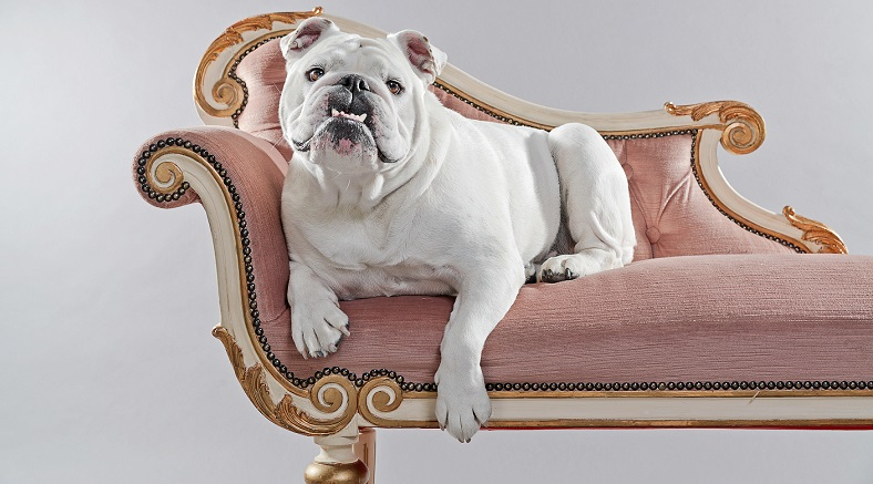 Why English Bulldogs Are Great Family Pets