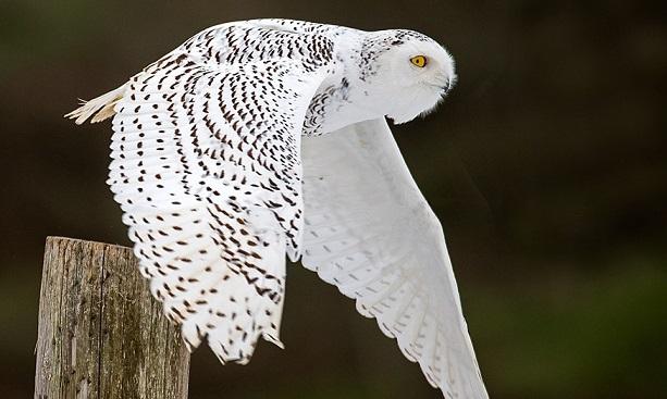 Irruption – White Owls Flocking in Indiana