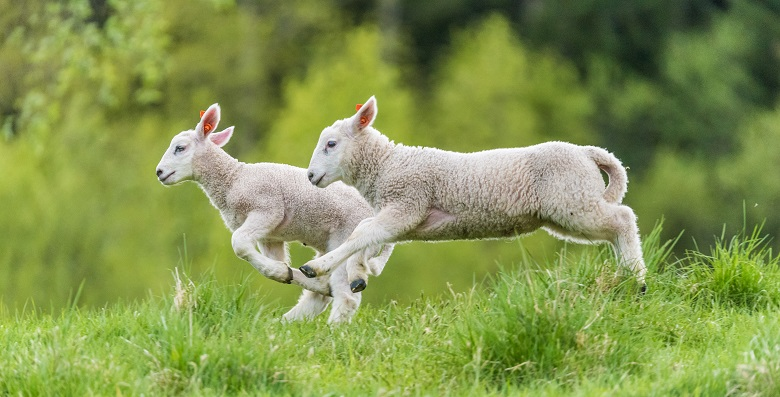 Lambs on the Way to Slaughter Found Life in Sanctuary