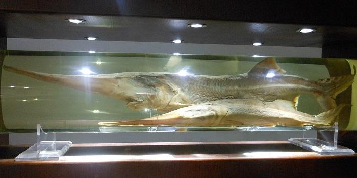 Chinese Paddlefish Declared Extinct in New Study