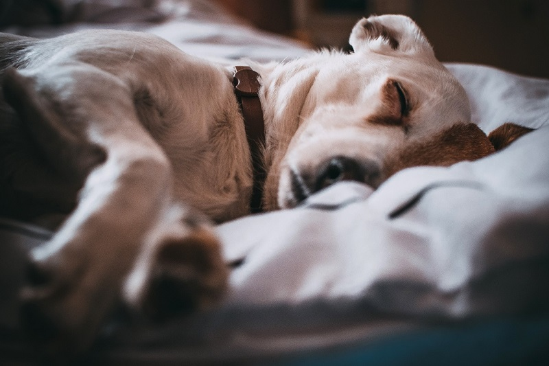 All About Treatment for Flea Infestations and Collars for Dogs