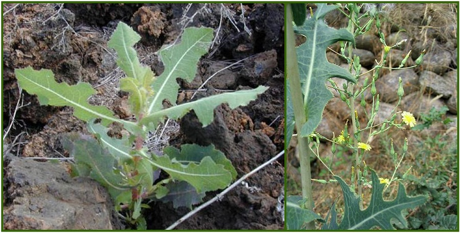 Prickly Lettuce as Natural Pain Relief Remedy