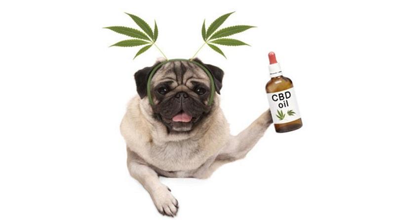 CBD-oil-pets